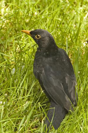 Blackbird (Turdus meruia)