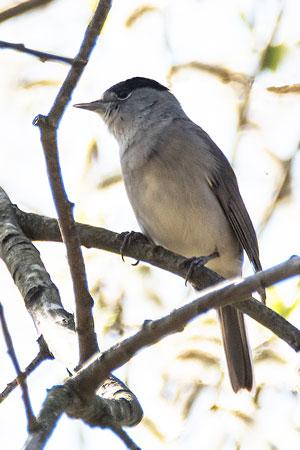 Blackcap-(Sylvia-atricapilla)