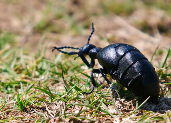 Blister Beetle (Meloe proscabacus)