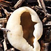 Blistered cup (Peziza vesiculosa)