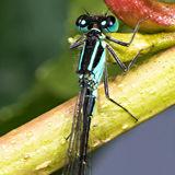 Blue-tailed Damselfly (Ischnura elegans) male