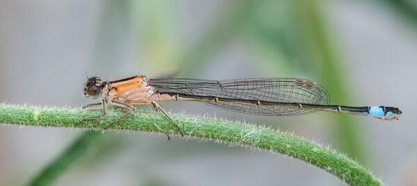 blue-tailed damselfly (female immature)