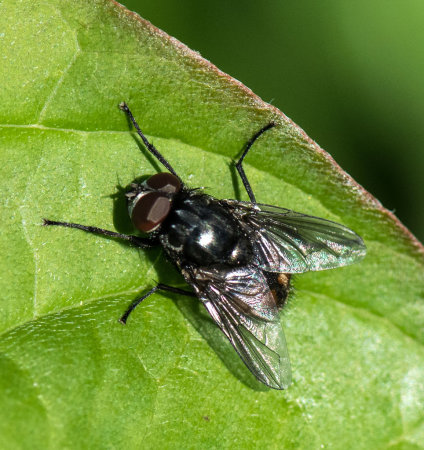 Bluebottle (calliphora vomitoria)