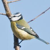 Bluetit (Parus caeruieus)