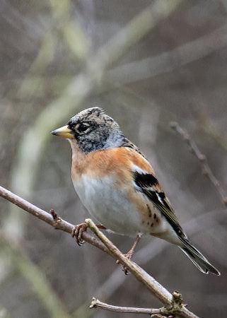Brambling (Fringilla montifringilla) male