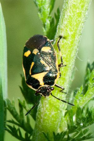 Brassica Shieldbug (Eurydema oleracea)