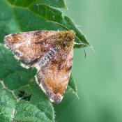 Broom moth