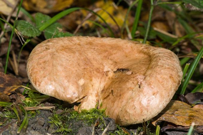 Brown Roll-rim (Paxillus involutus)