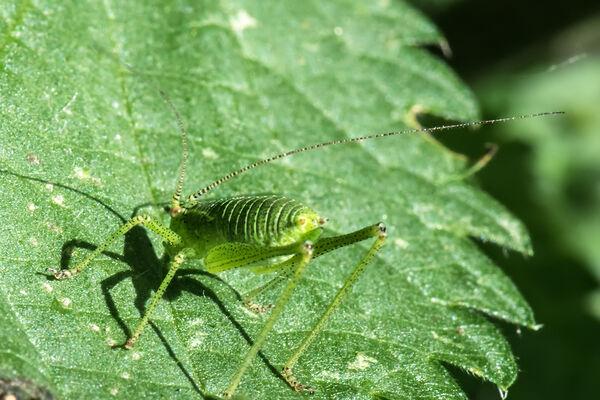 Speckled Bush Cricket (Leptophyes punctatissima) nymph