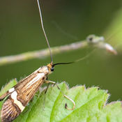 Caddis Fly (