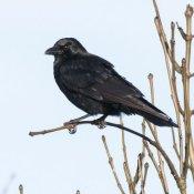 Carrion Crow (Corvus corone corone)