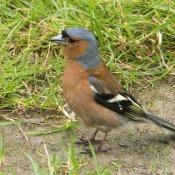 Chaffinch male (Fringilla coeibs)
