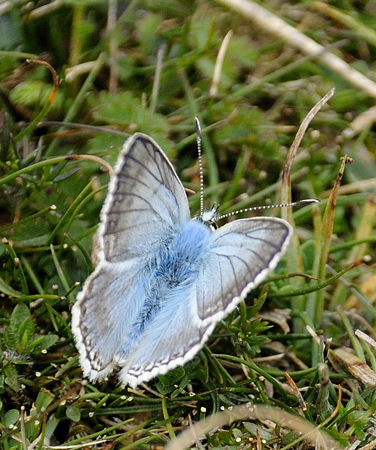 Chalk-Hill Blue (Lysandra coridon)