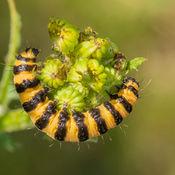 UK Caterpillars