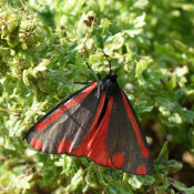 Cinnibar moth (Tyria jacobaeae)