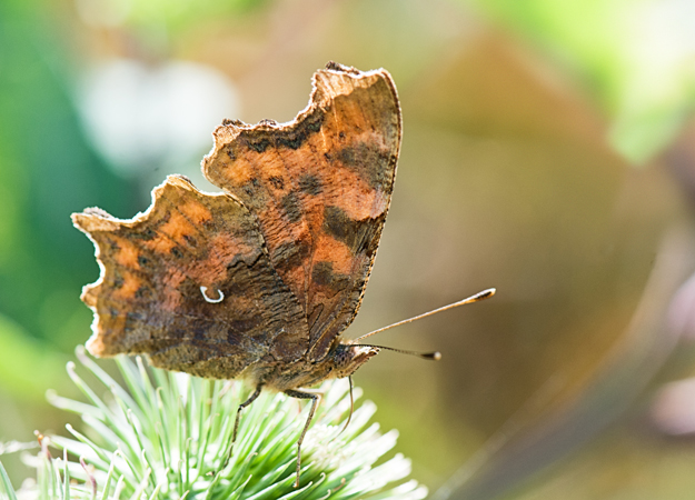 Comma (Polygonia c-album) 1