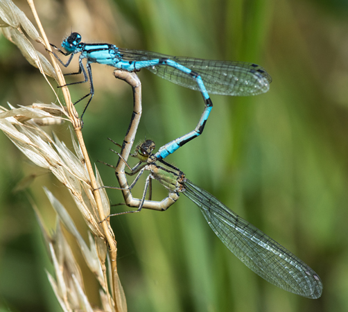 Common Blue Damselfly (Enallagma cyathigerum) pair
