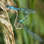 Common Blue Damselfly (Enallagma cyathigerum) pair