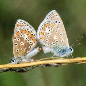 Common Blue (Polycommatus icamus) pair