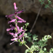 Common Fumitory (Fumaria officinals)