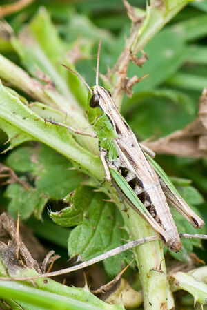 Common Green Grasshopper (Omocestus viridulus) nymph