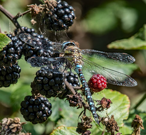 Common Hawker (Aeshna-juncea)