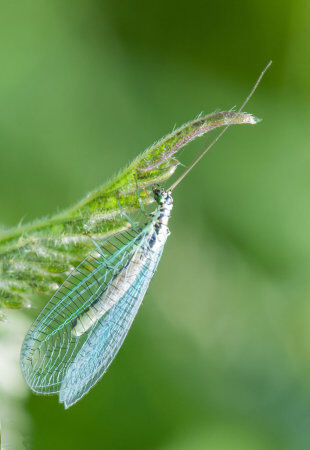 Common Lacewing (Chrysopidae)