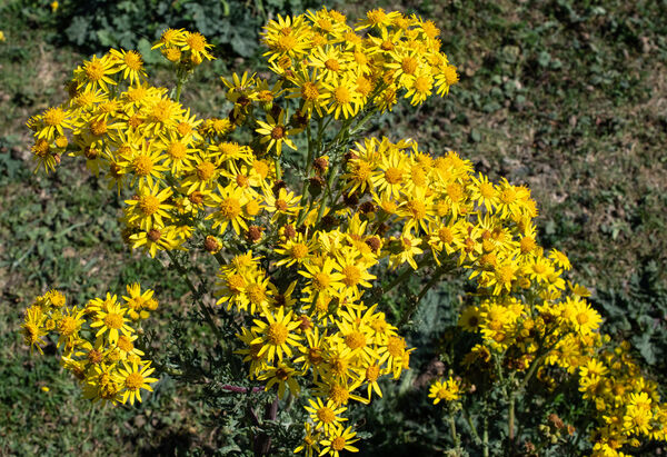 Common Ragwort (Senecio jacobaco)