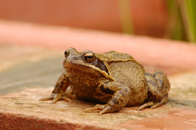 Common Frog (Rana temporaria Ranidae)