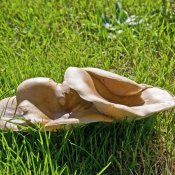 Common Funnel Cap (Clitocybe gibba)