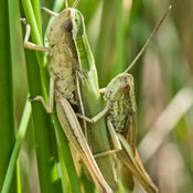 Common Green Grasshopper (Omocestus virdulus)