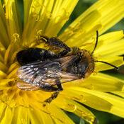 Mining Bee (Andrena carantonica)