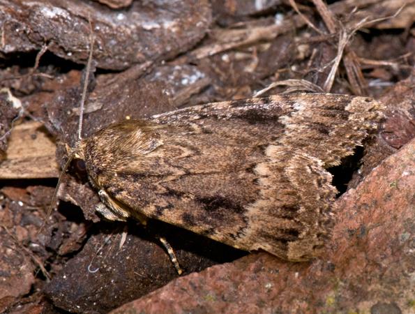 Copper Underwing ( Amphipyra pyramidea)