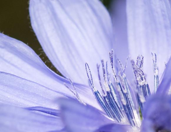 Corn Flower (Centaurea cyanus)