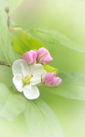 Crab apple blossom (malus)