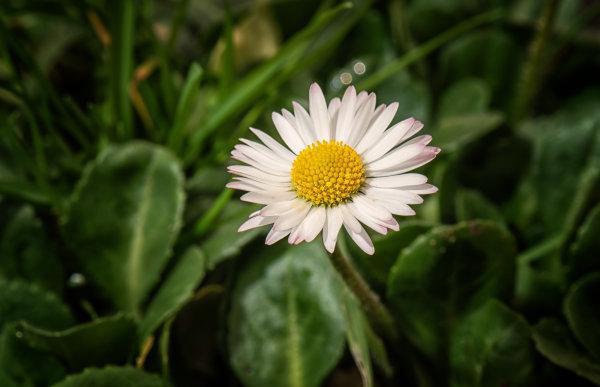 Daisy (Bellis perennis}
