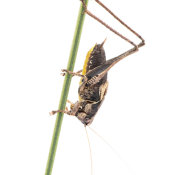 Dark Bush Cricket (Pholidopteru griseoaptera) male