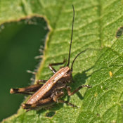Dark Bush Cricket (Pholidoptera grisoaptera)