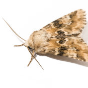 Dusky Sallow (Eremobia ochroleuca)