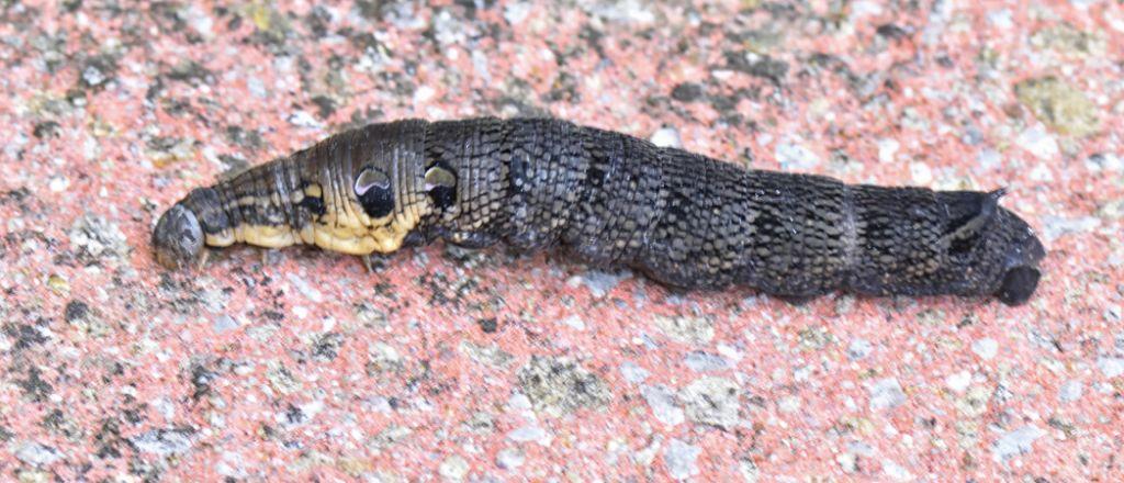 Elephant Hawk Moth Caterpillar (Deilephila elpenor)