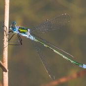 Emerald Damselfly (Lestes sponsa) male