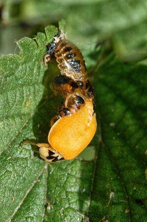 Emerging Ladybird from Pupa