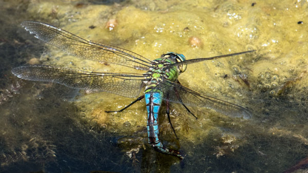 Emperor Dragonfly (Anax imperator) 1