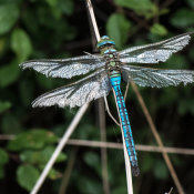 Emperor Dragonfly (Anax imperator) male