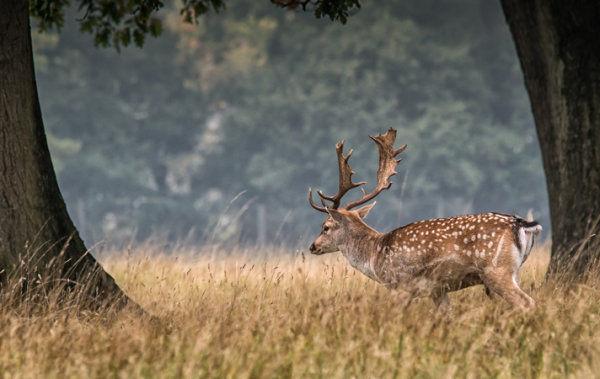 Fallow Deer (male)