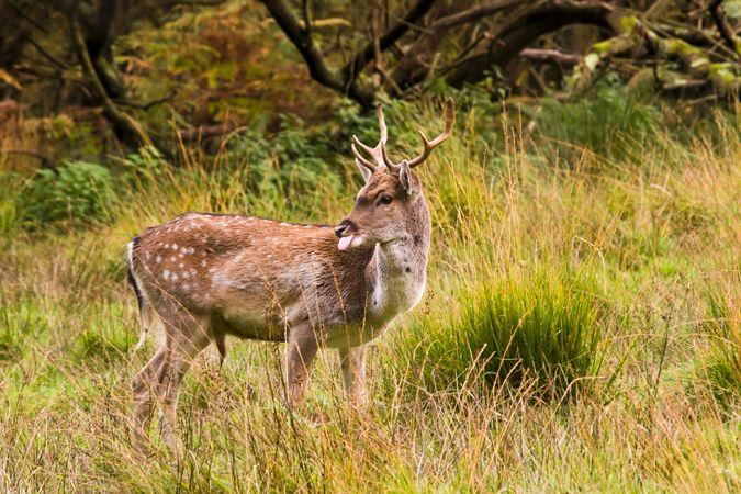 Fallow Deer (Dama dama Cervidae)