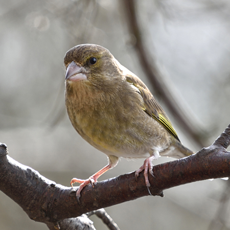 Greenfinch (Carduelis chioris) female