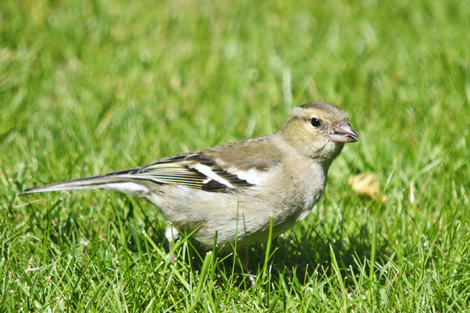 Chaffinch (Fringilla coeiebs) female