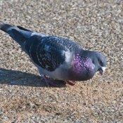 Feral Pigeon (Columbia livia)