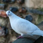 Ferral-Pigeon-(White-Form)-Columba-livia